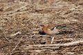 Chaffinch male on a field in spring Royalty Free Stock Images