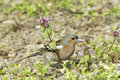 Chaffinch male fringilla coelebs in natural habitat Stock Photos