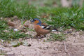 Chaffinch male on ground eating seed side profile Stock Image