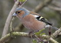 Chaffinch male perched on a branch Stock Image