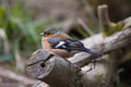 Chaffinch male perched on a branch side profile Stock Image