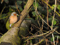 Chaffinch male perched on top of log Royalty Free Stock Photo