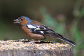 Chaffinch male on tree trunk eating seed side profile Stock Photography
