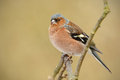 Chaffinch ona branch male sitting on a with soft green background Royalty Free Stock Images