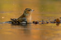 Chaffinch this is a photo of a Stock Image
