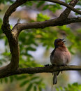 The Chaffinch Royalty Free Stock Photo