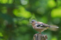 Chaffinch is sitting on a tree Royalty Free Stock Photos