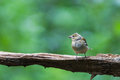 Chaffinch sitting on a tree Royalty Free Stock Image