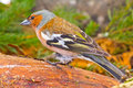 Chaffinch in the spring against the wood Stock Images