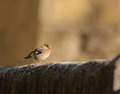 Chaffinch on stone wall Royalty Free Stock Photos