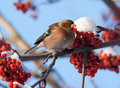 Chaffinch sur le branchement de la cendre de montagne Photo stock