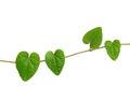 Chain of heart-shaped green leaf vine, Raphistemma hooperianum ( Royalty Free Stock Photo