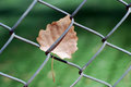 Chain link fence and dead leaf Stock Photo