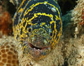 Chain Moray -  Bonaire, Netherl Royalty Free Stock Images
