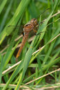 Chalk fronted corporal dragonfly female perched on a blade of grass Stock Images