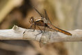 Chalk fronted corporal dragonfly female perched on a dead stick Stock Photography