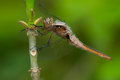 Chalk fronted corporal dragonfly female perched on a stem Stock Images