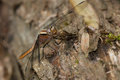 Chalk fronted corporal dragonfly female perched on a stump Stock Photography