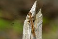 Chalk fronted corporal dragonfly female perched on a stump Royalty Free Stock Photos