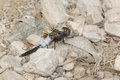 Chalk fronted corporal dragonfly male resting on a gravel path Stock Photos