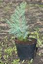 Chamaecyparis lawsoniana Alumii plant. Cedar tree, cedar tree, Chamaecyparis. Chamaecyparis lawsoniana, known as Port Orford cedar