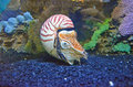 Chambered nautilus an interesting deep sea creature the is rarely seen above feet below sea level Royalty Free Stock Image