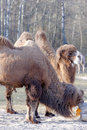 Chameau bactrian camelus bactrian Photo libre de droits