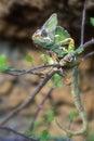 Chameleon Royalty Free Stock Photo