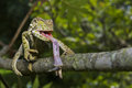 Chameleon in action south africa feeding on a bug the trees Royalty Free Stock Photo