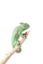 chameleon on branch isolated on white background Royalty Free Stock Photo