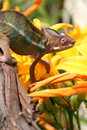 Panther Chameleon with flowers Royalty Free Stock Photo