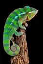 Chameleon on drift wood Royalty Free Stock Photo