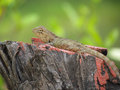 Chameleon or garden lizard basking on tree stump Royalty Free Stock Photo