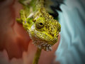 Chameleon head a close up view of a southern dwarf chameleons Royalty Free Stock Photos