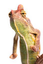 Chameleon isolation on the white Royalty Free Stock Photography