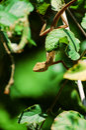 Chameleon lean out of bush Stock Image