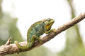Chameleon on twig, Uganda Royalty Free Stock Photo