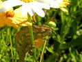 Chameleon in Summer flowers 1 Royalty Free Stock Photo