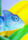 Chameleon on tulip Royalty Free Stock Image