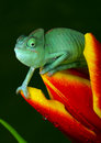 Chameleon on tulip Stock Photography