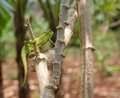 Chameleon in uganda a sitting on a bough africa front of blurred vegetation background Stock Photos