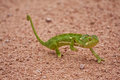 Chameleon walking on sand Royalty Free Stock Photos