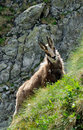 Chamois Stock Photos