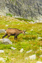 Chamois on clearing in tatra Stock Photos