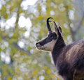 Chamois detail of in the mountains of the valle d aosta Stock Photo
