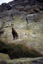 Chamois, High Tatras