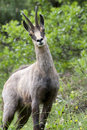 Chamois: male found in the bushes Royalty Free Stock Photo
