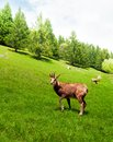 Chamois in the mountain meadow gazing on a green alpine chamonix at foot of mont blanc Stock Photo