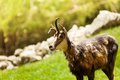 Chamois in the mountains close up view of on a green alpine meadow chamonix at foot of mont blanc Stock Image