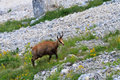 Chamois (Rupicapra Carpatica) Photographie stock